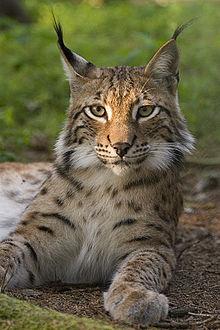 Lynx_lynx_poing